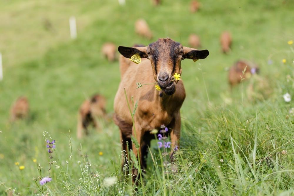 photographe reportage agriculteur exploitation chèvres magasin producteurs